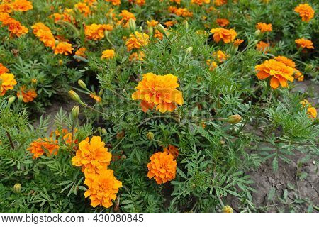 Florescence Of Orange Tagetes Patula In Mid July