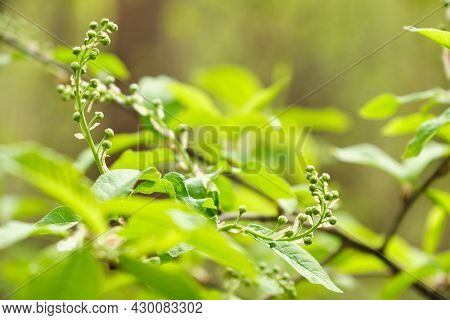 Bird-cherry flower blooming in srping forest