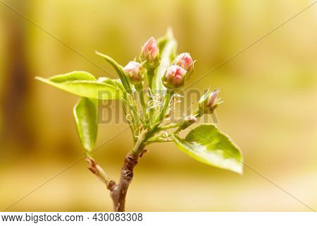 Pink apple tree flowers. Flowers Blossoms on the Branches Apple Tree.