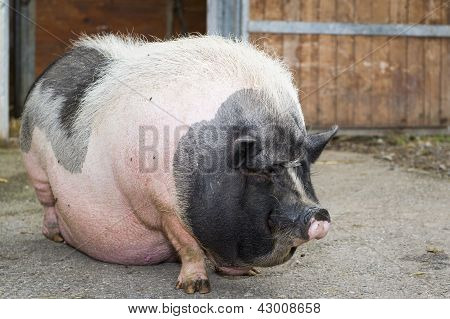 fat pink and black pot-bellied pig