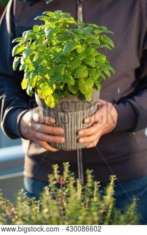 gardener holding lemon balm (melissa) in flowerpot on balcony. urban container herb garden concept