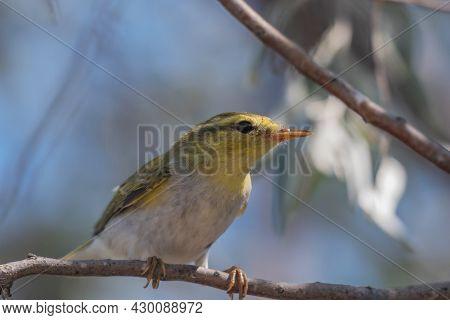 A Small Passerine Wood Warbler, Phylloscopus Sibilatrix Standing On A Branch. Songbird.