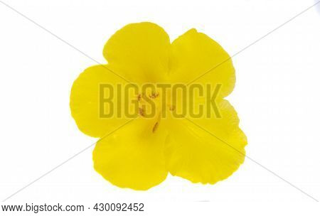 Yellow Flower Mallow Isolated On White Background