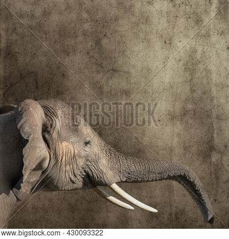 African elephant, loxodonta africana, monochrome side view with outstreched trunk against textured background. Retro style with space for text.
