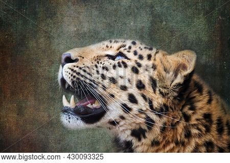 Young adult Amur Leopard. A species of leopard indigenous to southeastern Russia and northeast China, and listed as Critically Endangered. Processed to look like an old painting.