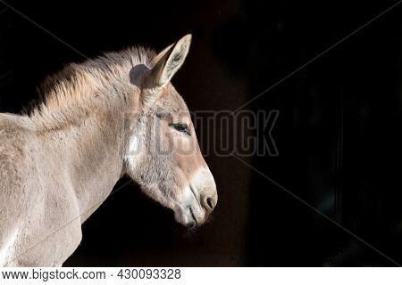 African wild donkey, Equus asinus somalicus, side profile with space for text. Indigenous to East Africa and critically endangered, with less than 600 recorded in the wild.