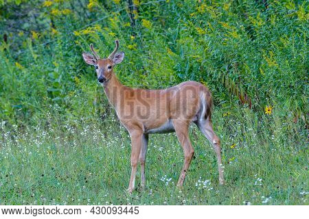 Young White-tailed Buck (Odocoileus virginianus) with velvet antlers during late summer.  Selective