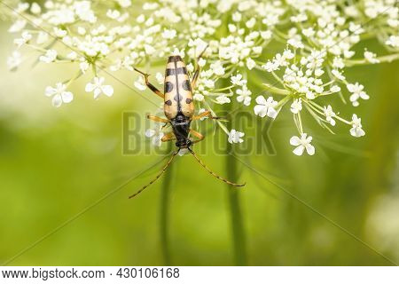 Black And Yellow Spotted Longhorn Beetle Climbing Upside Down On A White Flower Growing In A Meadow.