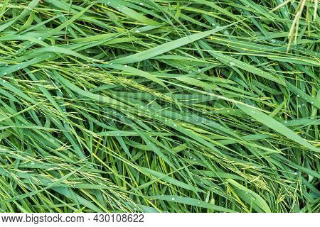 Mown Fresh Green Grass With Water Drops. Nature Eco Background