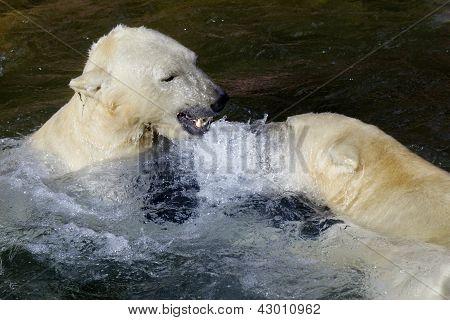Ice- Or Polar- Bear