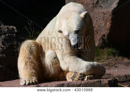 Polar- Bear
