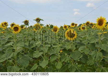 A Field Of Sunflowers In Early July Close To The North East Italian Village Of Ziracco In Friuli-ven