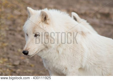 Cute Wild Alaskan Tundra Wolf Close Up. Canis Lupus Arctos. Polar Wolf Or White Wolf. Animals In Wil