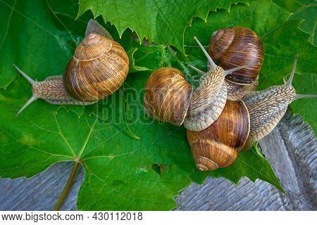 Edible Snail Helix Pomatia On Grape Leaves. Selective Focus