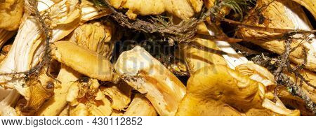 Forest Chanterelle Mushrooms.background Of Chanterelle Mushrooms.chanterelles Collected In The Fores