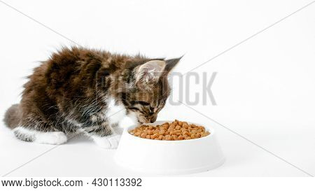 Grey Striped Kitten Eating Fresh Dry Cat Food For Small Kittens. Maine Coon Cat Eating Food From Bow