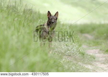 Beautiful Germana Beautiful Obedient Dog Stands On A Path In A Field Against A Background Of Grass.