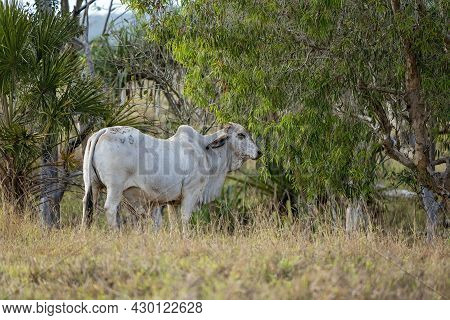A Bull Standing Amongst Bushland In A Paddock In The Country