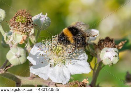 Common Bramble (rubus Fruticosus) Plant