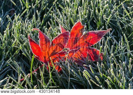Fallen Frosty Autumn Red Maple Leaves, Sunny Morning.