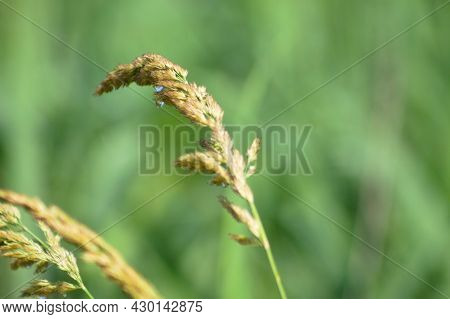 Common Velvet Grass Seeds With Water Drops Close-up View
