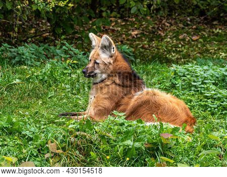 The Maned Wolf, Chrysocyon Brachyurus Is The Largest Canid Of South America. This Mammal Lives In Op