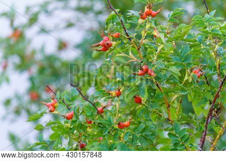 Dog Rose Fruits Rosa Canina. Wild Rosehips In Nature. Herbal Medicine And As Food For Being Rich In