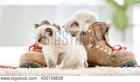 Lovely fluffy white ragdoll kitten sitting on the floor in light room and playing with red lace of boots. Beautiful purebred feline cat kitty outdoors with shoes