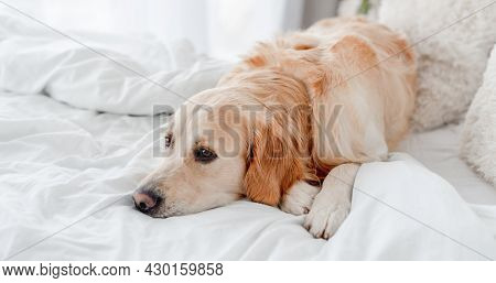 Golden retriever dog lying in the bed. Cute doggy resting at home in the morning time. Portrait of pet indoors with daylight. Beautiful labrador in the bedroom