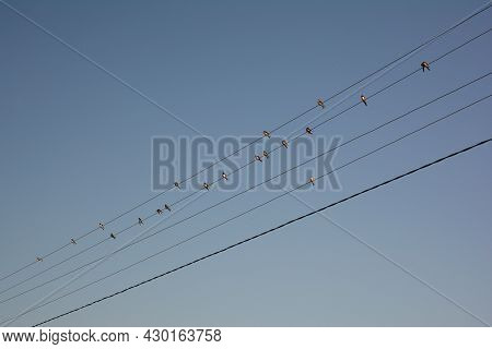 Rural Landscape. A Lot Of Barn Swallows, Hirundo Rustica Birds Sitting On Electric Wires Ready To Mi