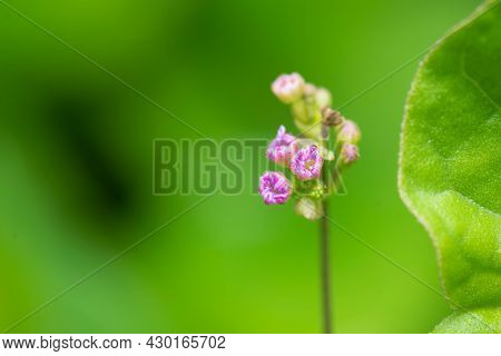 Flower Buds Blooming Known As Boerhaavia Diffusa Is Flowering Plant Commonly Known As Punarnava Whic
