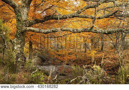 Beech Forest In Autumn Near The Town Of Montejo De La Sierra In Spain. It Is The Southernmost Beech