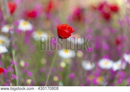 Field Of Corn Poppy Flowers Papaver Rhoeas In Spring. Red Poppy On A Background Of A Field Of Flower