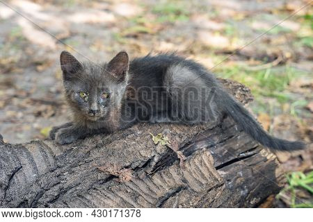 Small Homeless Sick Gray Kitten With Sore Eyes.