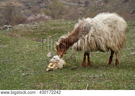 A Pregnant Sheep Has Just Given Birth To A Lamb. In A Meadow In The Mountains.