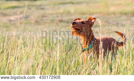 Gorgeous Beautiful Purebred Young Energetic Hunting Dog Of Irish Terrier Breed With A Wise Smart Ser