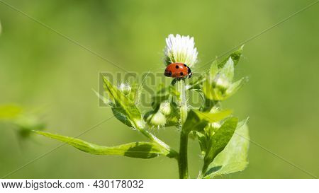 Ladybug. Ladybug On A Small White Flowers. Flowers And Green Leaves On A Plant Branch. Floral Natura