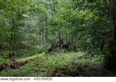 Summertime Deciduous Forest With Broken Oak Roots  In Background, Bialowieza Forest,poland,europe
