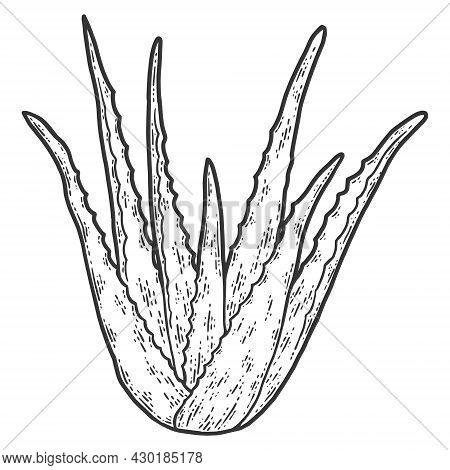 Healing Plant. Aloe Vera. Sketch Scratch Board Imitation Coloring.