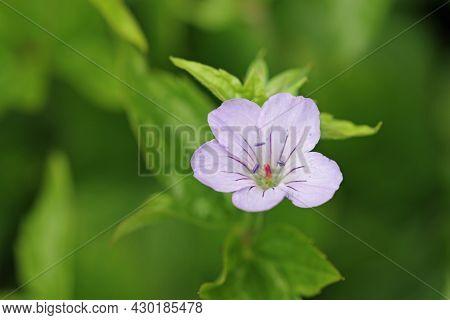 Lilac Knotted Cranesbill, Geranium Nodosum Variety Svelte Lilac, Flower Close Up With A Background O