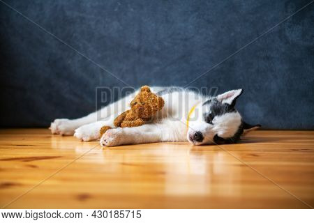 A small white dog puppy breed siberian husky with beautiful blue eyes lays on wooden floor with teddy bear toy. Dogs and pets photography