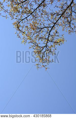 Japanese Maple Branches With New Leaves Against Blue Sky - Latin Name - Acer Palmatum