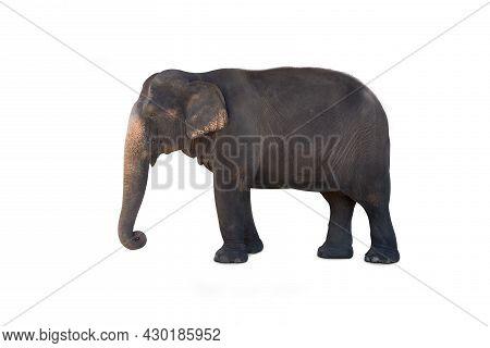 Elephants In Chiang Mai. Elephant Nature Park, Thailand. Asia Elephant On Isolated White Background.