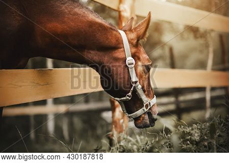 A Bay Foal With A Halter On His Muzzle Stands In A Paddock With A Wooden Fence And Eats Grass Growin