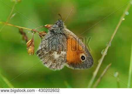 Closeup On A Small Heath Butterfly, Coenonympha Pamphilus , Hiding Among The Green Vegetation And Gr