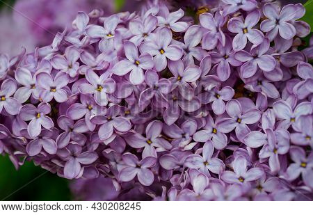 A Cluster Of Flowers Of A Purple Lilac Bush In Full Bloom.