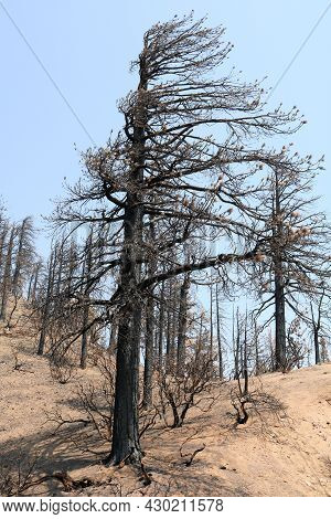 Burnt Pine Trees On A Charcoaled Landscape Caused From A Wildfire Taken At A Parched Forest In The D