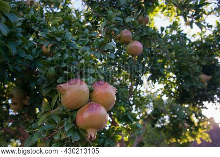 Close Up Of Beautiful Pomegranate Fruits On The Tree. Summer At Portugal, Europe