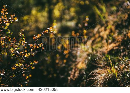 Golden Leaves In Sunshine On Background Of Autumn Forest Bokeh. Minimalist Nature Backdrop With Sunl
