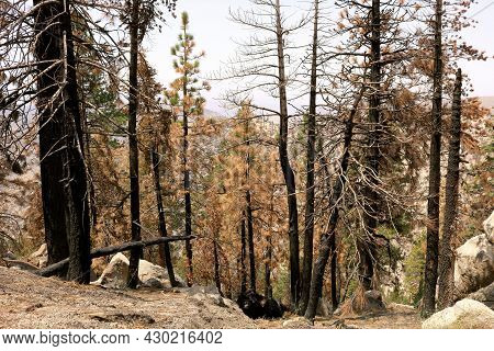Burnt Pine Trees At A Parched Alpine Forest Taken On A Charcoaled Landscape After A Wildfire In The